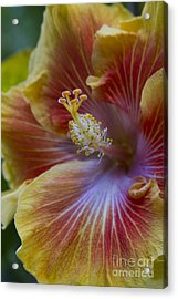 Tropical Hibiscus - Maui Hawaii Acrylic Print by Sharon Mau