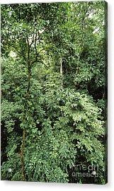 Tropical Rainforest, Panama Acrylic Print by Gregory G. Dimijian