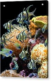 Tropical Wonderland - Banggai Cardinalfish Acrylic Print by Jamie Pham