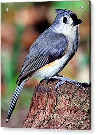 Tufted Titmouse Parus Bicolor Acrylic Print by Millard H. Sharp