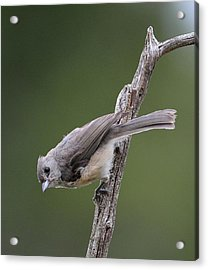 Tufted Titmouse Acrylic Print by Todd Hostetter