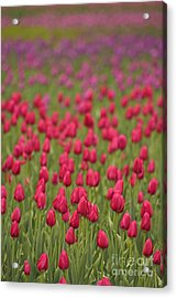 Tulip Beds Forever Acrylic Print