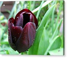 Tulip Queen Of Night Acrylic Print