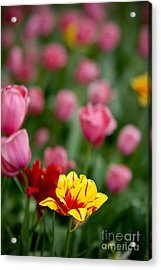 Tulips Acrylic Print by Amy Cicconi