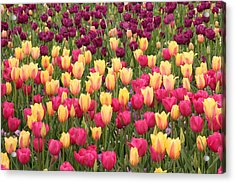 Acrylic Print featuring the photograph Tulips by Elizabeth Budd