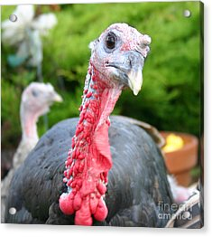 Turkey Face Off Acrylic Print