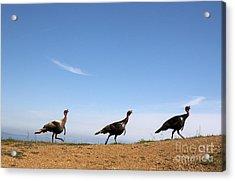 Turkey Stroll Acrylic Print by Juan Romagosa