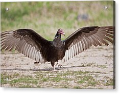 Turkey Vulture (cathartes Aura Acrylic Print by Larry Ditto