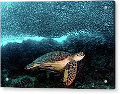 Turtle And Sardines Acrylic Print by Henry Jager