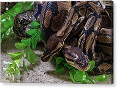 Two Burmese Pythons Python Bivittatus Acrylic Print
