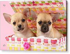 Two Chihuahuas Acrylic Print by Greg Cuddiford