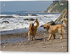 Two Golden Retrievers Playing Acrylic Print
