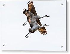 Two Sandhill Cranes Acrylic Print
