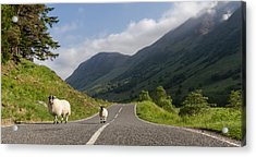 Two Sheeps Walking Along A Road In The Scottish Highlands Acrylic Print by Leander Nardin