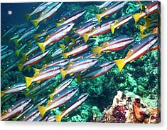 Two-spot Banded Snappers Acrylic Print by Georgette Douwma