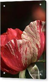 Two Toned Rose Acrylic Print by Joy Watson
