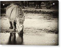 Two White Rhinos  Acrylic Print