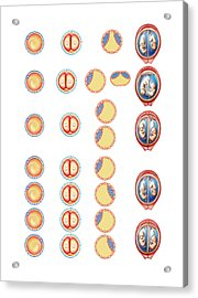 Types Of Twin Acrylic Print by Asklepios Medical Atlas