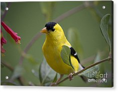 Up Close And Personal Acrylic Print by Cris Hayes