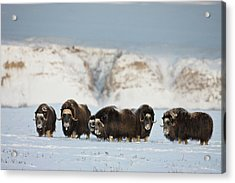 Usa, Alaska, Arctic National Wildlife Acrylic Print by Hugh Rose