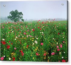 Usa, Kentucky, Union, Field Of Cosmos Acrylic Print by Adam Jones