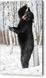Usa, Minnesota, Sandstone, Black Bear Acrylic Print by Hollice Looney