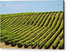 Usa, Washington, Rolling Vineyards Acrylic Print