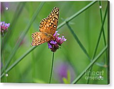 Variegated Fritillary Butterfly In Field Acrylic Print