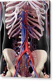 Vascular System Of Human Abdomen Acrylic Print by Sebastian Kaulitzki/science Photo Library