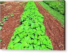 Vegetable Garden At Thomas Jeffersons Acrylic Print