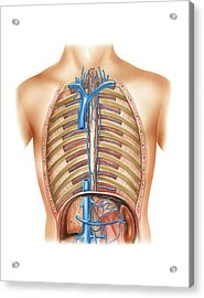 Venous System Of The Torso Acrylic Print by Asklepios Medical Atlas
