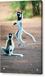 Verreauxs Sifaka Propithecus Verreauxi Acrylic Print by Panoramic Images