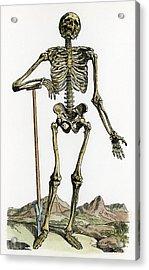 Vesalius: Skeleton, 1543 Acrylic Print