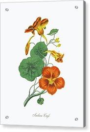 Victorian Botanical Illustration Of Acrylic Print by Bauhaus1000