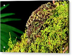 Vietnamese Mossy Frog, Theloderma Acrylic Print by David Northcott