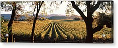 Vines In A Vineyard, Far Niente Winery Acrylic Print by Panoramic Images