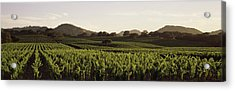 Vineyard With Mountains Acrylic Print by Panoramic Images