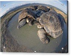 Volcan Alcedo Giant Tortoises Wallowing Acrylic Print by Tui De Roy