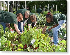 Volunteers In A Community Garden Acrylic Print