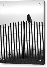 Waiting Owl Acrylic Print