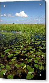 Water Lilies And Sawgrass Acrylic Print by David R. Frazier