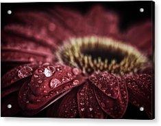Waterdrops On A Gerbera Daisy Acrylic Print
