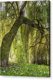 Weeping Willow Acrylic Print by Thomas Schreiter