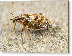 Weevil On Sand Acrylic Print by Science Photo Library