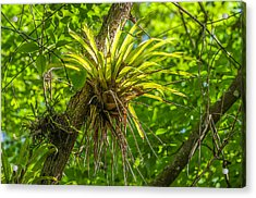 West Indian Tufted Airplants Acrylic Print
