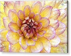 Wet Dahlia Acrylic Print by Paul W Faust -  Impressions of Light