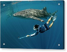 Whale Shark And Tourist Acrylic Print