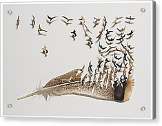 Where Feathers Come From Acrylic Print by Chris Maynard