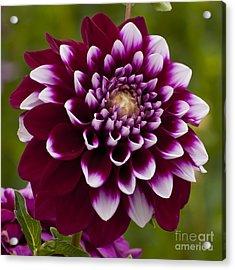 White And Purple Dahlia Acrylic Print by Mandy Judson