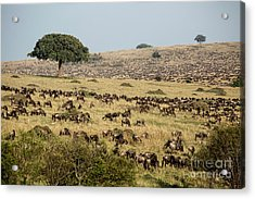 White-bearded Wildebeest Migration Acrylic Print by Greg Dimijian